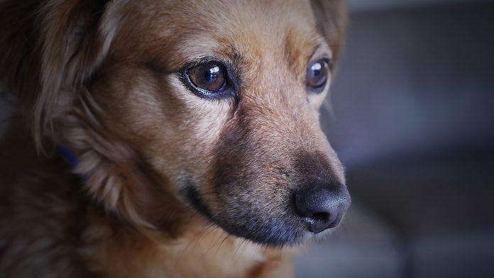 Dog Thefts